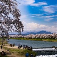 白石 人目千本桜