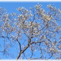 ☆ 🎶白木蓮今年も綺麗に咲いて 🎶