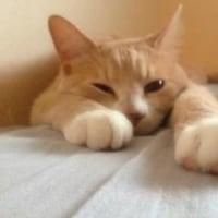朝練・昼錬・夜練、猫じゃらしへの執念【♀猫こむぎ&♂猫だいず】