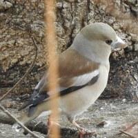 柏の葉公園周辺の野鳥_シメ(鴲)水辺で採餌