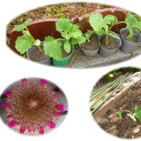 胡瓜を植えました。