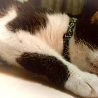 ぺたんこ兄猫でおやすみ