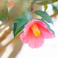 椿 (花 4304)