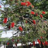 万博記念公園のたわしの木(ブラシノキ)。