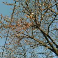 近所の桜が開花したよ・・・