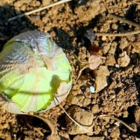 彩の国・・・比企の丘・鳩山の里の・・・春の便り・・・蕗の薹