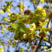 土佐水木の花咲く