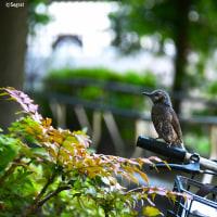 ヒヨドリ 2017/06 東京