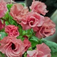 バラ咲きジュリアン