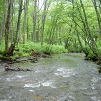 大雪湖流入渓流に見られる降湖型オショロコマは銀ぴか。