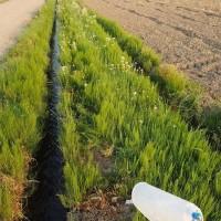 田んぼへ除草剤散布