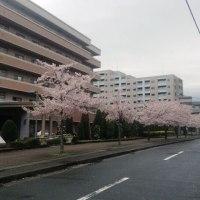 桜雨・・・。