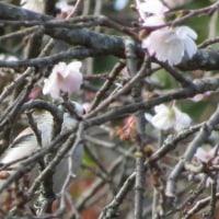 エナガはサクラの花がよく似合う!
