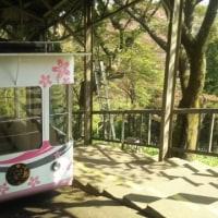 念願の「吉野の桜」