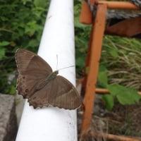 初めて見る蝶
