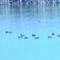 渡り来て 雌雄が見えぬ 小鴨たち