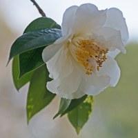 椿の花の咲く頃(Ⅵ)