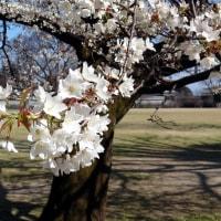 復興祈念の桜