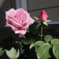 バラが咲いたよ。^^