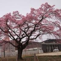 三春滝桜の孫桜見物!