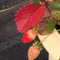紅葉といちご