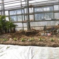 耕作放棄地からバラ園へ 2017.2.26