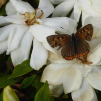 クチナシに来る蝶
