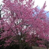 出町柳にある長徳寺と今出川の鴨川畔のおかめ桜が満開