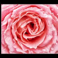 アップで薔薇