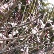 梅花咲く・・・