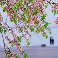 惜春 びわ湖大津