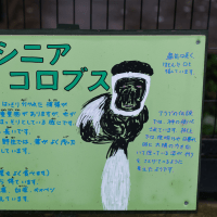 白黒模様が美しいアビシニアコロブス(旭山動物園)