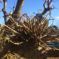 庭の風蘭と石斛