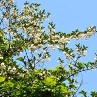 林縁にエゴノキの花がたくさん