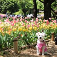 昭和記念公園でチューリップ