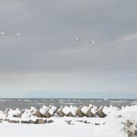 北海道野鳥旅・風連湖~厚岸(3月23日)