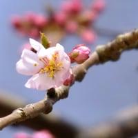 本日の京都御苑糸桜数輪開花