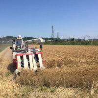 デュラム小麦の収穫終了