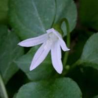 タニギキョウ(キキョウ科・タニギキョウ属) 多年草