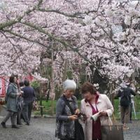 桜どれどれ