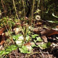 高ボッチ高原・鉢伏山で最近咲いている花 センボンヤリ(千本槍)の閉鎖花