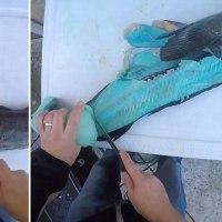 何かおかしい、魚を切ったら身が青い   豪州