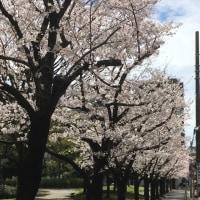 神奈川古書会館前、反町公園の桜。