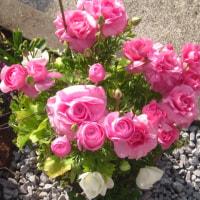 ピンクのラナンキュラスと白いアネモネで寄せ植え