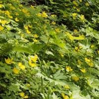 金剛山・カトラ谷に咲くヤマブキソウ