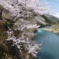 根尾谷淡墨桜を見て来ました。