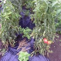 トマト旺盛、ミニトマトが多くて収穫が追いつかない