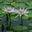 夏の花 モミジアオイ、アメリカフヨウ、ヒマワリ、熱帯睡蓮