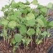 「黒豆」苗の植え付け