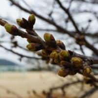 校庭の桜 3.23